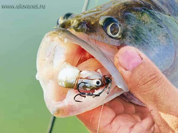 Ловля судака на мертвую рыбку и ее кусочки