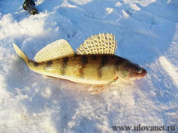 прикормка на судака зимой