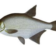 Рыба лещь