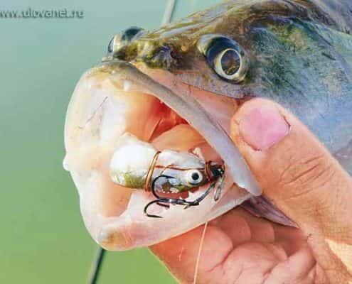Ловля судака на мертвую рыбку