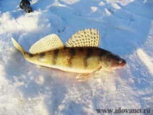 Ловля судака зимой на тюльку