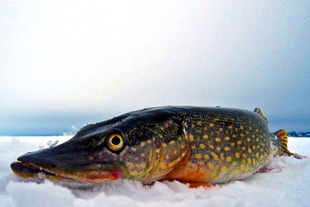 Ловля щуки по первому льду - Секреты успешной рыбалки Щука прекрасно слышит малейшую