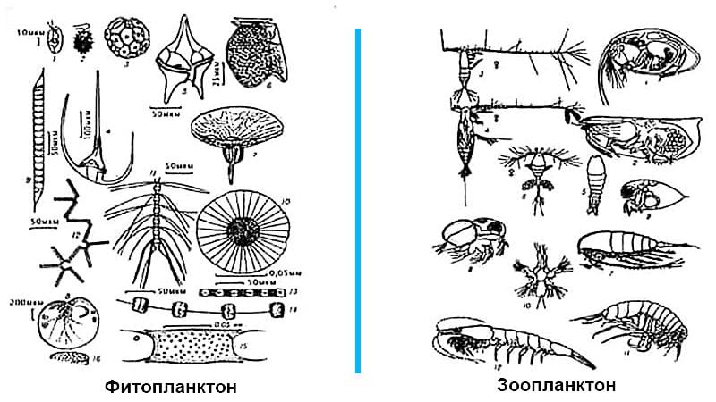 Зоопланктон и фитопланктон