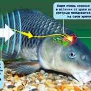 Слышат ли рыбы