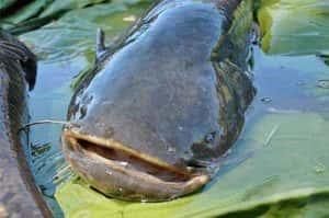 Как ловить сома - Секреты успешной рыбалки