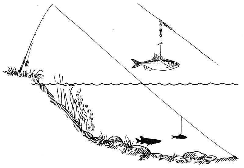 Схема закидушки на живца